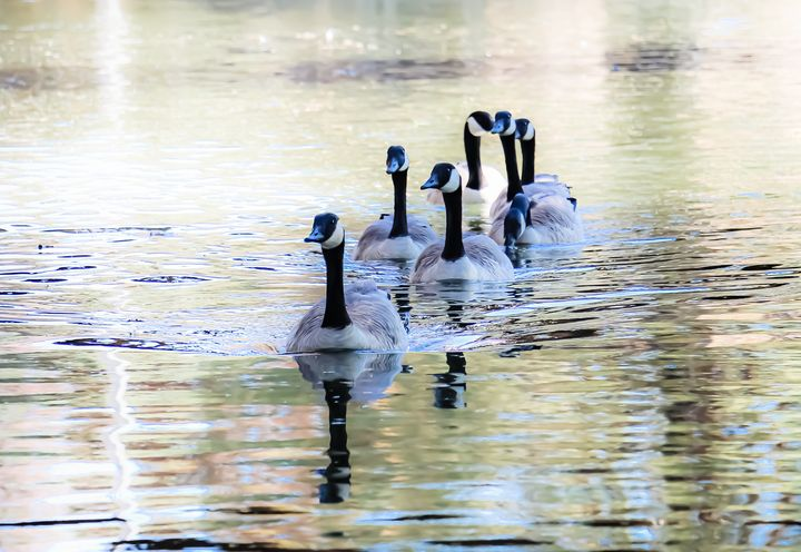 Flock of Geese at a River - Art by Marie Puddu