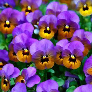 Cheerful Little Purple Pansies - Sara Valor