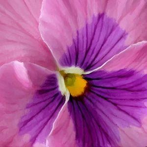 Pink and Purple Pansy Flower Macro - Sara Valor