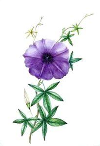 Vintage Purple Morning Glory - Sara Valor