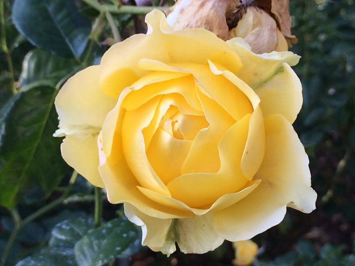 Gorgeous Yellow Rose - Nature