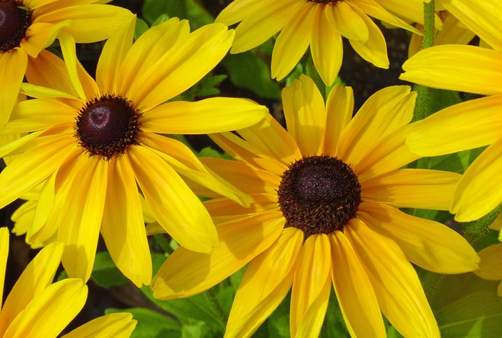 Black Eyed Susans - Images by Suzanne Gaff