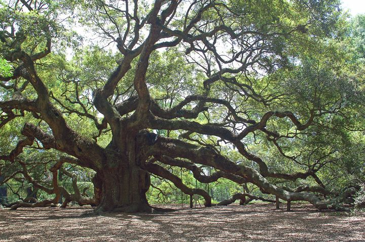 Angel Oak - Images by Suzanne Gaff