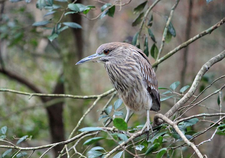 Juvenile Black Crowned Night Heron - Images by Suzanne Gaff