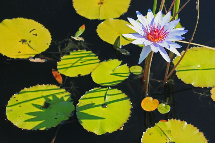 Lazy Afternoon at the Lily Pond - Images by Suzanne Gaff