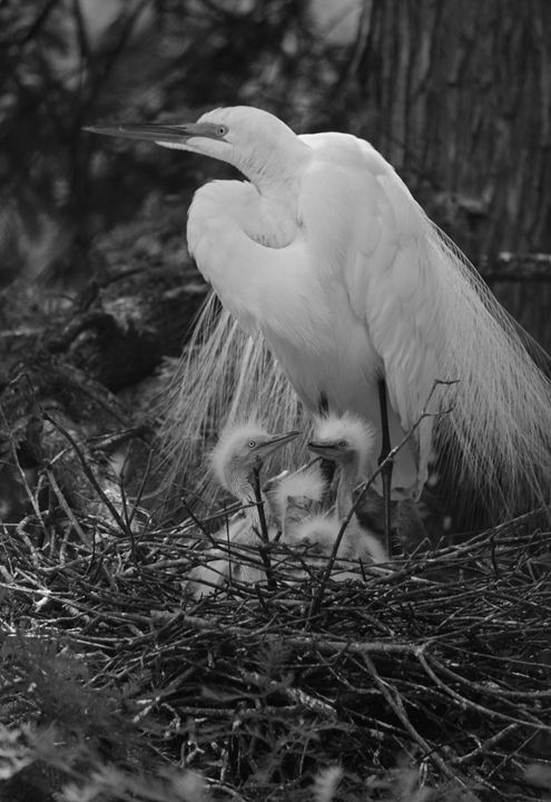Mom and Chicks in BW - Images by Suzanne Gaff