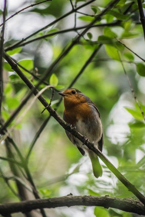 Robin in Plym Bridge Woods - LisenPhotography