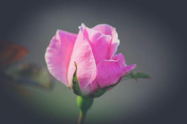 Pink Rose - LisenPhotography