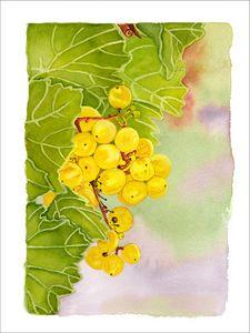 White Italian Grapes On The Vine