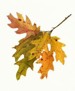 Autumn Oak Leaves Watecolor
