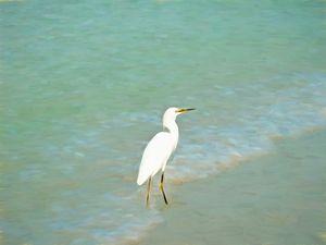 White Crane In The Surf