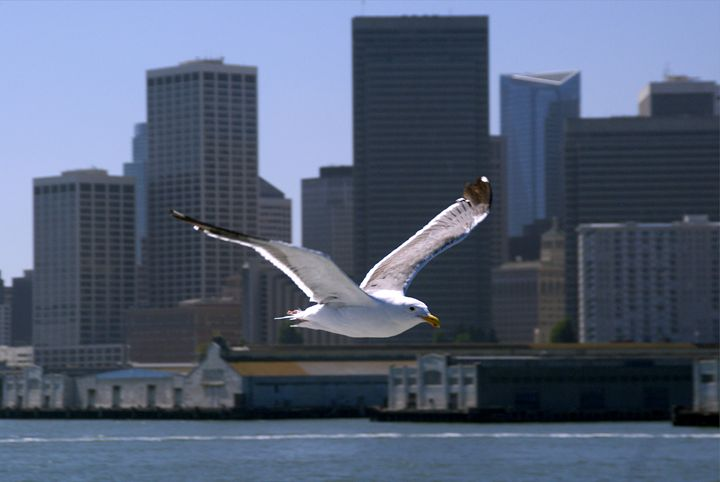 Seagull and San Francisco waterfront - Rod Jones Photography