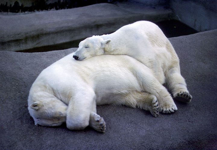 Two polar bears relaxing - Rod Jones Photography
