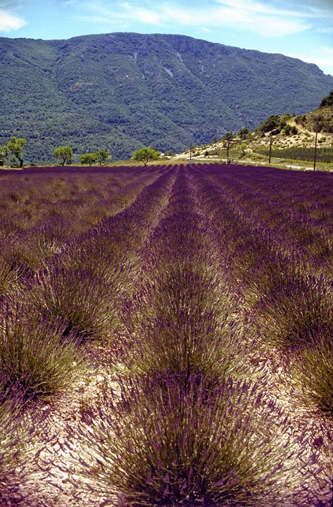 A field of Lavender in Provence. - Rod Jones Photography