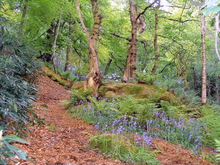 Woodland path with bluebells. - Rod Jones Photography