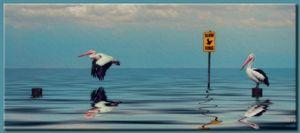 Slow Pelican Xing - Richard Gerhard