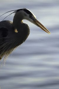 Close up Heron