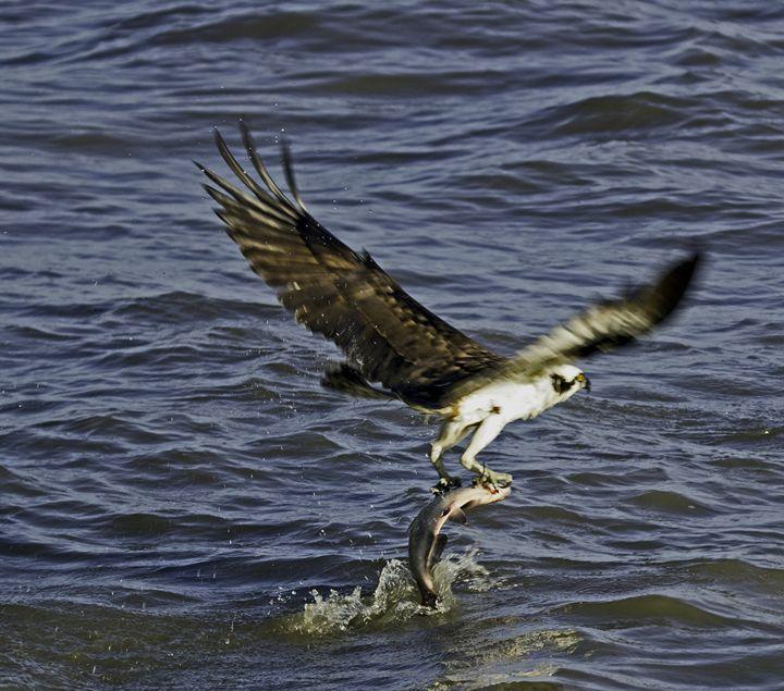 Osprey dinner time - L.Muraca