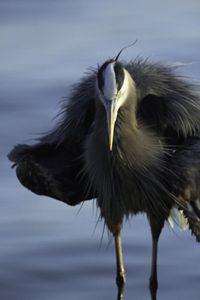 Fluffy Heron