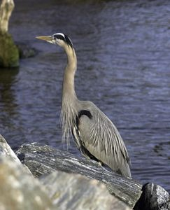 Heron by the River