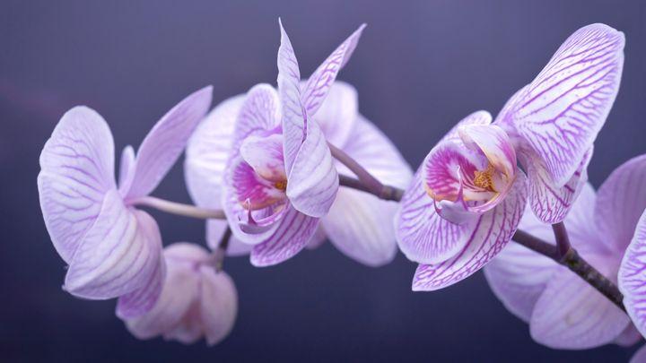 beautiful flower(phalaenopsis) - nicepics