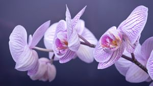 beautiful flower(phalaenopsis)