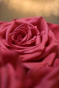Rose in Lights
