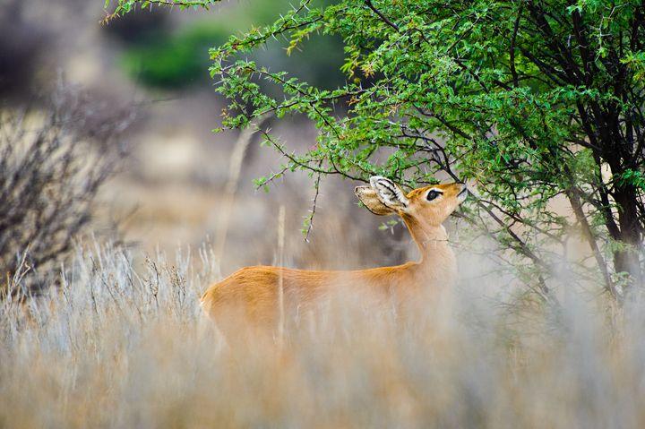 Steenbok Feeding - Porpoise Pics
