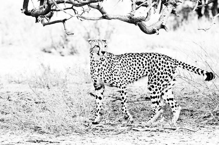 Cheetah - Porpoise Pics