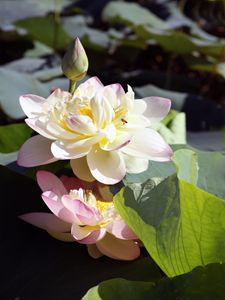 Lotus in Bloom - Paintings by John Lautermilch