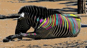 Painted Zebra - Paintings by John Lautermilch