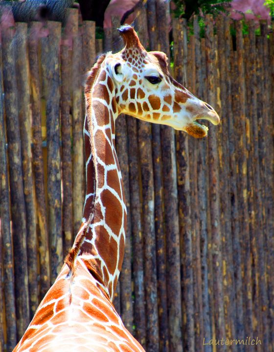 Giraffe St. Louis Zoo - Paintings by John Lautermilch