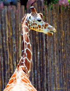 Giraffe St. Louis Zoo - Paintings by John Lautermilch