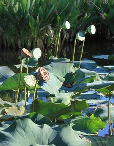 Lotus Pods in Sunlight - Paintings by John Lautermilch