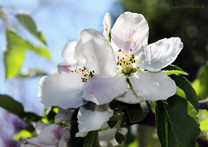 Apple Blossom - Paintings by John Lautermilch