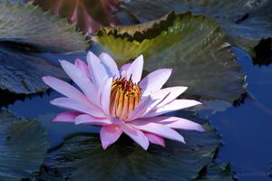 Pink Lily in Sunlight - Paintings by John Lautermilch