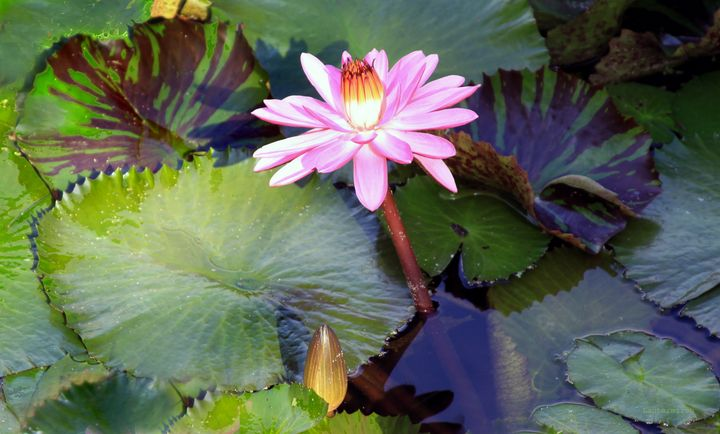 Water Lily in Sunlight - Paintings by John Lautermilch