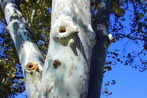 Sycamore Tree in Forest Park - Paintings by John Lautermilch