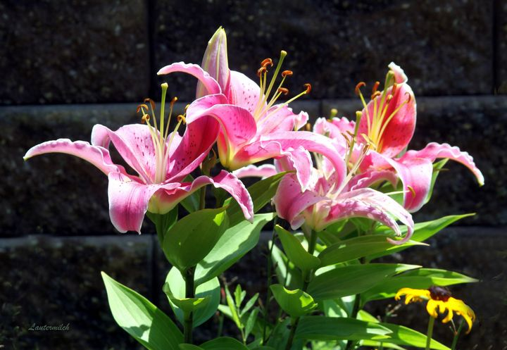 Asiatic Lilies - Paintings by John Lautermilch
