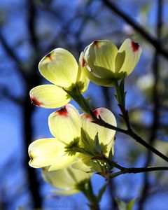 Dogwood In Sunlight - Paintings by John Lautermilch