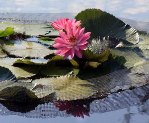 Water Lilies in Sunlight - Paintings by John Lautermilch