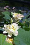 Lotus in Bright Sunlight - Paintings by John Lautermilch