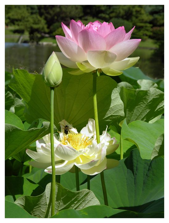 Lotuses in Bloom - Paintings by John Lautermilch