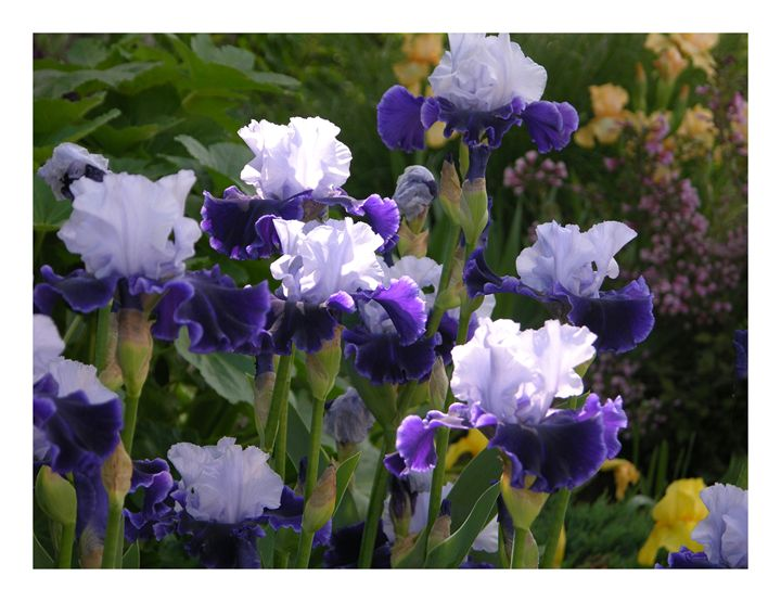 Three Irises in the Sunlight - Paintings by John Lautermilch