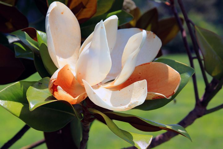 Tulip Tree Flower - Paintings by John Lautermilch