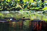 Bird on Water Lily Pad - Paintings by John Lautermilch
