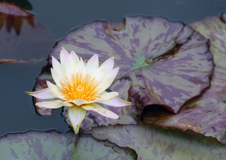 Water Lily with Golden Center - Paintings by John Lautermilch
