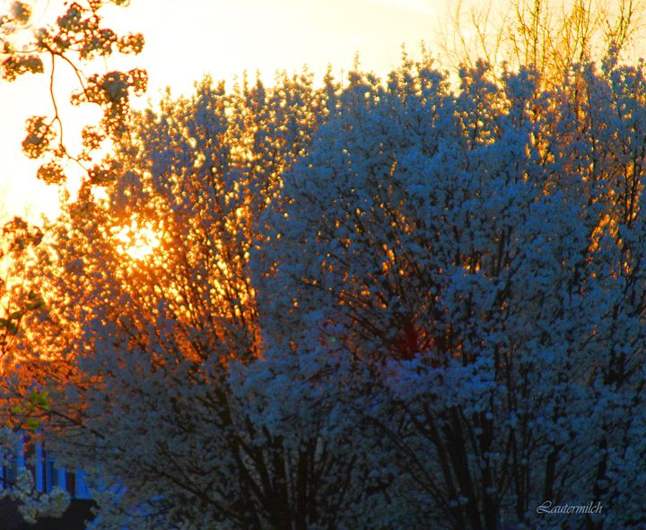 Sunset Through The Blossoms - Paintings by John Lautermilch
