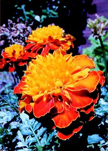 Marigold in the Sunlight - Paintings by John Lautermilch