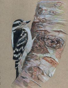 Downy Woodpecker on Beech